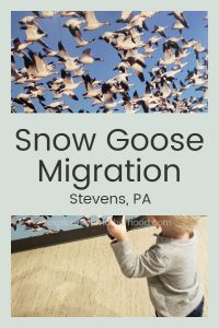 We went to see the incredible Snow Goose Migration in Stevens, PA!  Read our trip diary and experience it, too! explorationmotherhood.com #snowgoose #birdwatching #Stevens #PA #Pennsylvania #migration #springactivities #outdoors #naturereserve