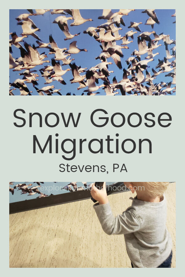 Snow Goose Migration in Stevens, PA!
