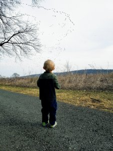 toddler watching snow geese migration