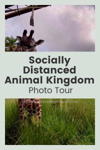 Socially Distanced Animal Kingdom photo tour Pinterest image with giraffe from Kilimanjaro Safaris